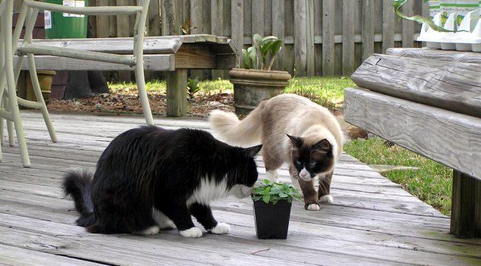 Growing catnip