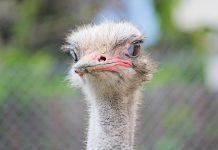 ostrich farming for money