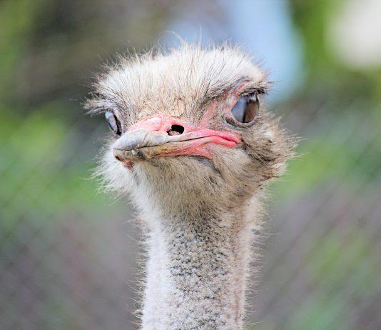 ostrich farming for money
